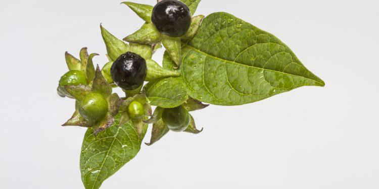 Blätter und Früchte der Schwarzen Tollkirsche auf weißem Grund.