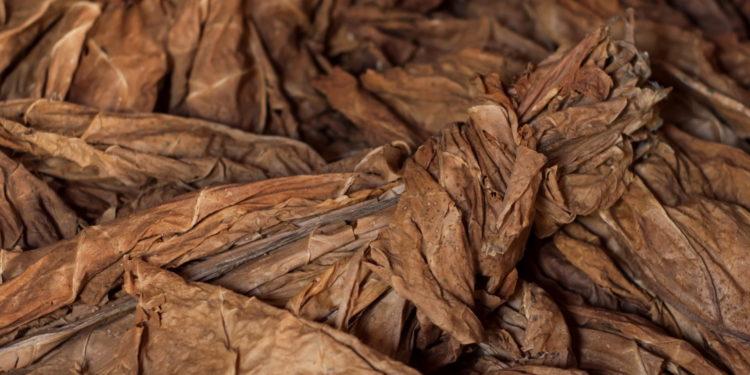Mehrere getrocknete Tabakblätter