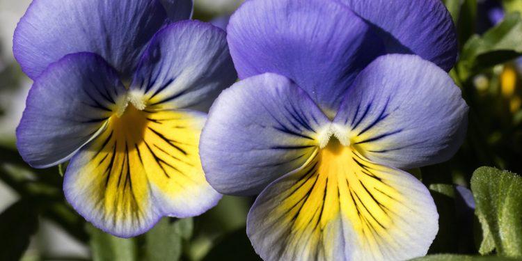 Zwei Blüten des Wilden Stiefmütterchens in Nahaufnahme.