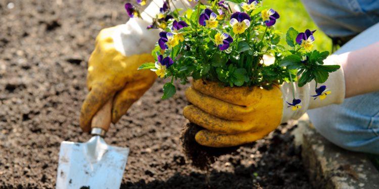 Eine Person mit Gartenhandschuhen und Gartenschaufel pflanzt ein Wildes Stiefmütterchen ins Beet.