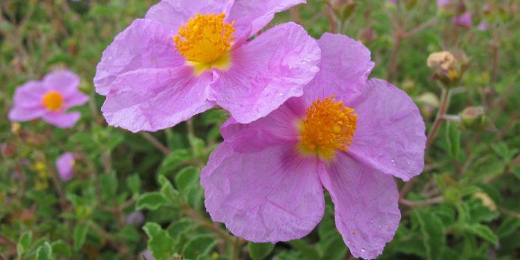 Zwei Zistrosen-Blüten in Nahaufnahme vor einem Zistrosen-Busch