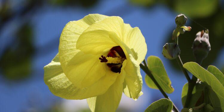 Eine Blüte des Bisameibisch in Nahaufnahme.