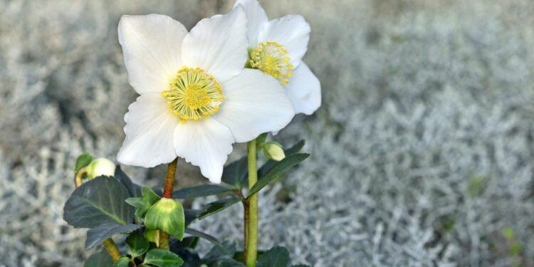 Zwei Blüten der Christrose in Nahaufnahme.
