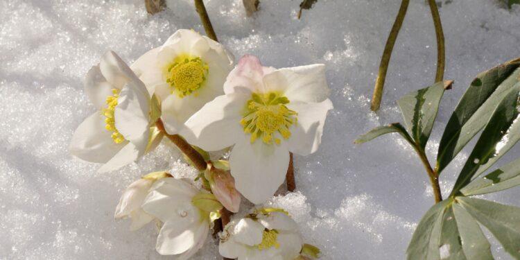 Christrosen im Schnee