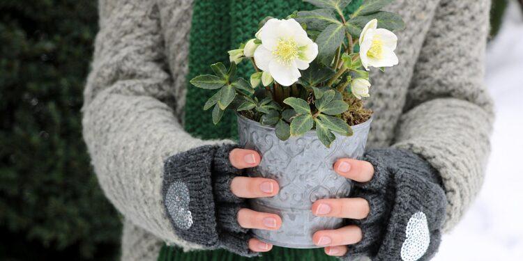 Eine Frau in Winterkleidung hält eine Christrose im Topf in den Händen.