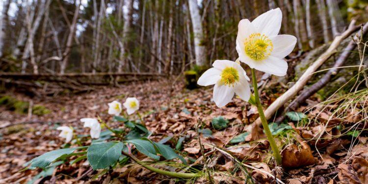 Blühende Christosen auf mit Blättern bedecktem Waldboden.