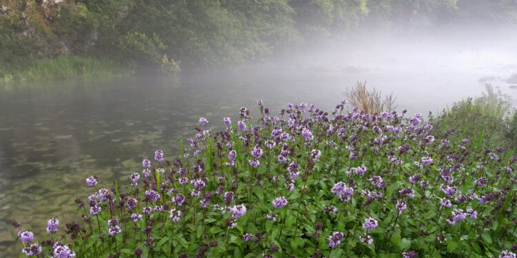 Großflächiger Wasserminze-Bewuchs an einem Fluss.