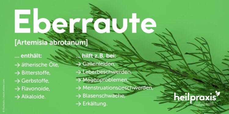 Übersicht der Inhaltsstoffe und Wirkungen von Eberraute.