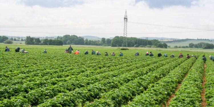 Erdbeerfeld bis zum Horizont, weit hinten hocken im Feld die Erntehelfer und pflücken Erdbeeren