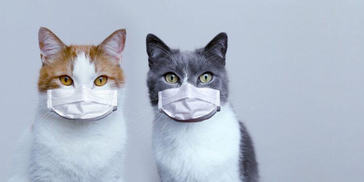 Zwei Katzen mit Atemschutzmasken