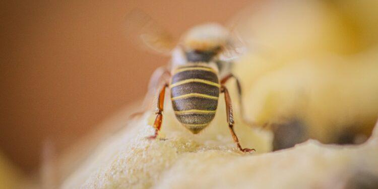 Nahaufnahme einer stachellosen Biene.
