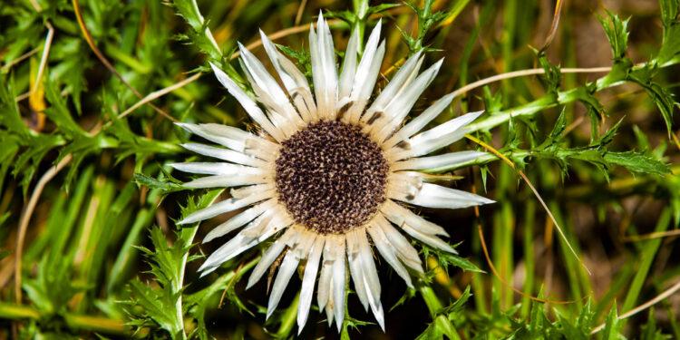 Blüte der Silberdistel