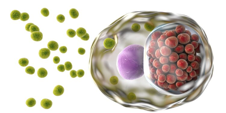Eine grafische Darstellung einer Zelle, die von Bakterien vom Typ Chlamydia trachomatis befallen ist.