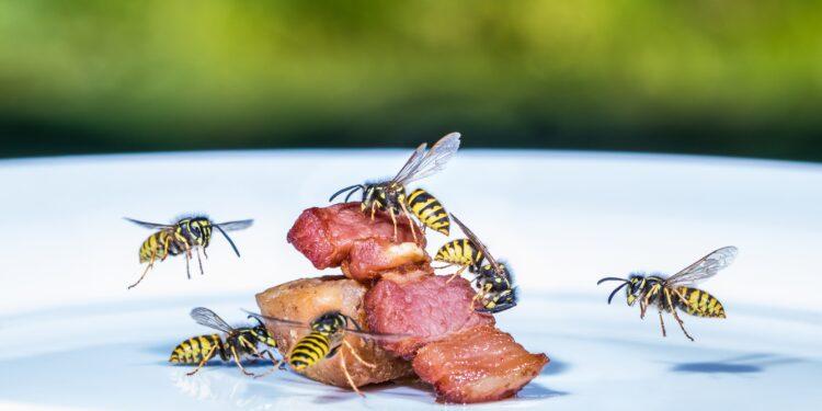 Mehrere Wespen fliegen auf ein Stück Fleisch auf einem Teller zu.