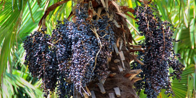 Kohlpalme mit reichlich reifen Acai-Beeren.