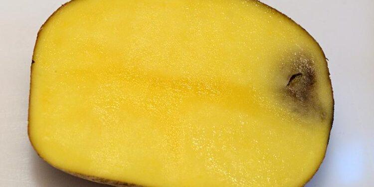 Eine aufgeschnittene Kartoffel mit einem schwarzen Fleck im Inneren.