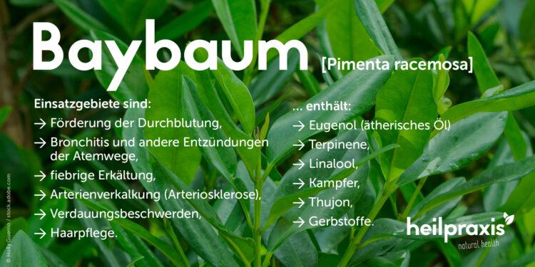 Übersicht über die Einsatzgebiete und Inhaltsstoffe des Baybaums.
