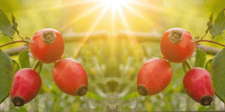 Ein Hagebuttenstrauch mit reifen Früchten