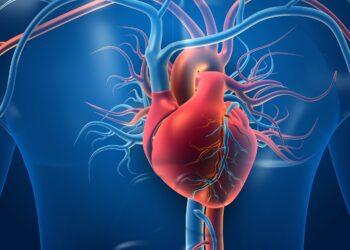 Menschliches Herz mit Blutgefaessen Grafik