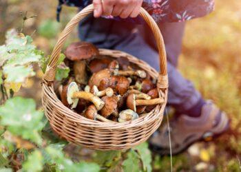 Frau mit gesammelten Pilzen im Wald