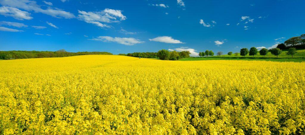 Ein blühendes Rapsfeld im Frühling