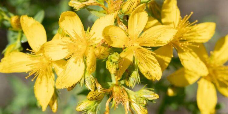 Johanniskraut-Blüten