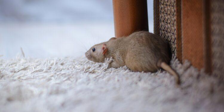Heimratte auf dem Teppich einer Wohnung schnüffelt