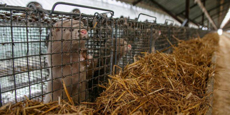 Nerze in Käfigen auf einer Nerzfarm.