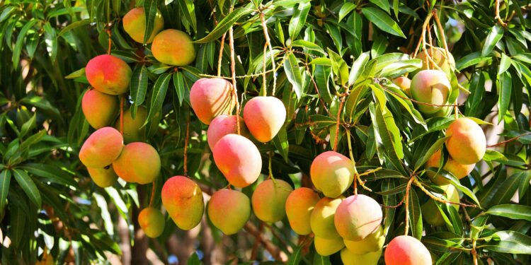 Mangofrüchte an einem Baum.