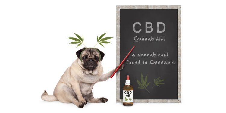 Hund als Lehrer erklärt auf einer Kreidetafel Cannabidiol (CBD).