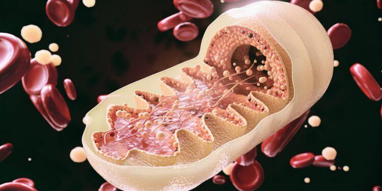 Schematische Darstellung der Mitochondrien.