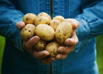 Eine Person hält mehrere Kartoffeln in beiden Händen.