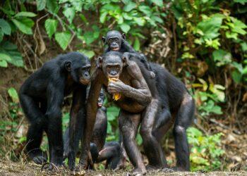 Eine frei lebende Schimpansenherde im Urwald
