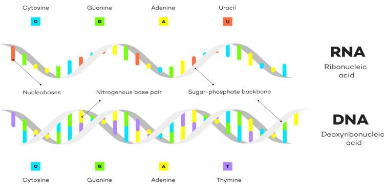 Schaubild über den Aufbau von RNA und DNA.