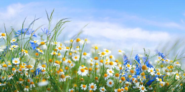 Wildblumenwiese mit Gänseblümchen