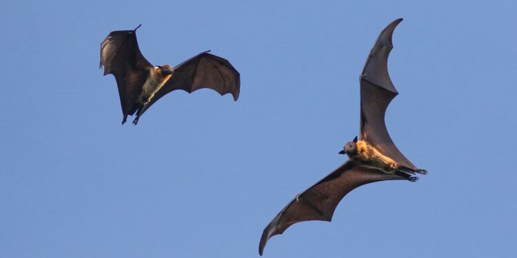Zwei fliegende Fledermäuse bei Tageslicht