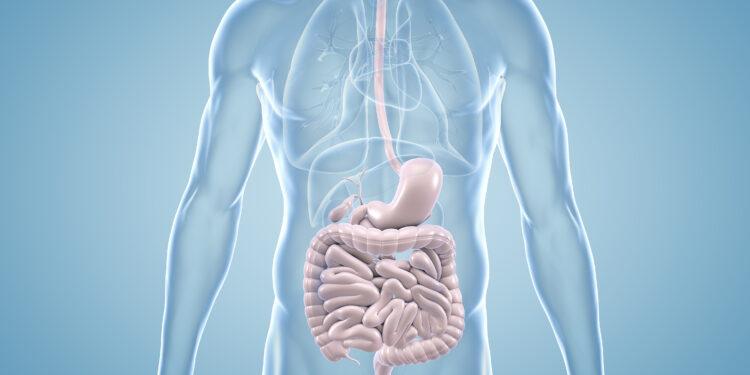 Anatomische 3D-Illustration des Magen-Darm-Trakts