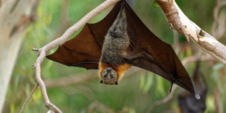 Eine Fledermaus hängt kopfüber an einem Ast.