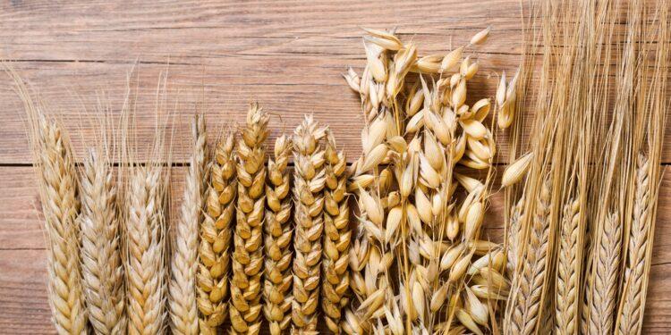 Getreide-Ähren von Roggen, Weizen, Hafer und Gerste