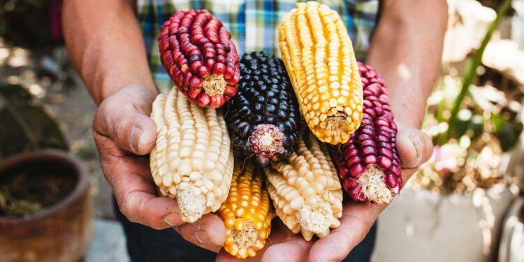 Ein Mann hält in seinen Händen mehrere Maiskolben in verschiedenen Farben
