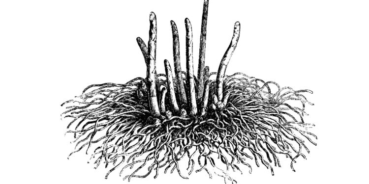 Zeichnung einer Spargelpflanze mit Wurzel.