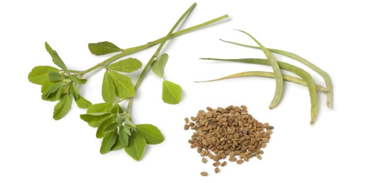 Samen, Blätter und Kraut des Bockshornklees