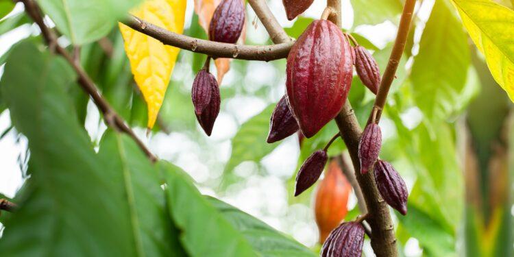 Kakaobaum mit mehreren Kakaofrüchten