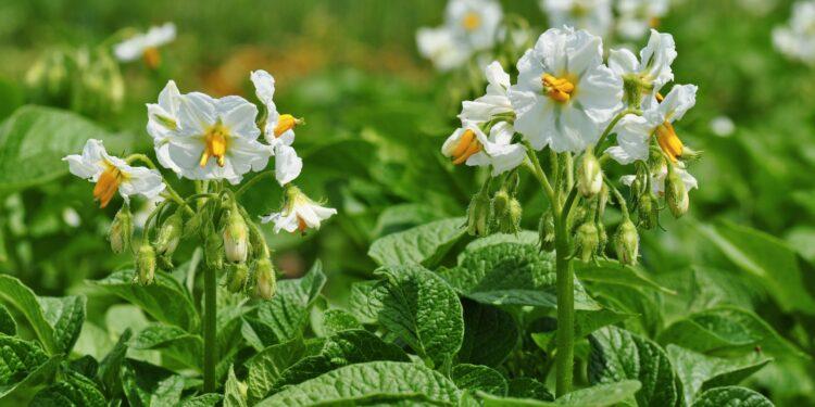 Kartoffelpflanzen in der Blüte.