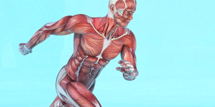 Grafische Darstellung von Muskelpartien an einem männlichen Model.