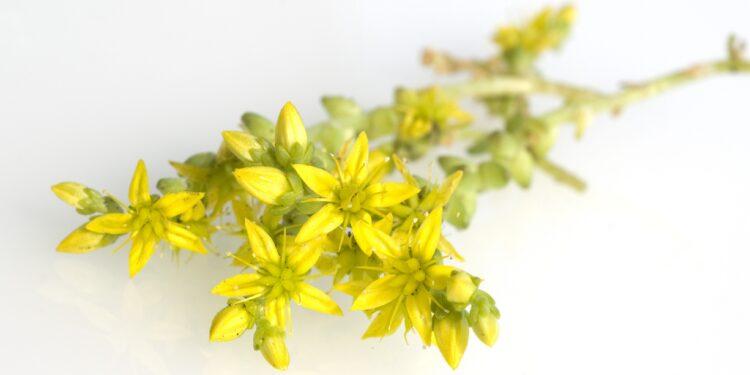 Gelbe Blüten der Scharfen Fetthenne vor weißem Hintergrund