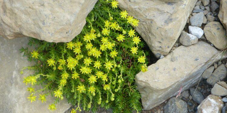 Scharfe Fetthenne mit gelben Blüten wächst zwischen Mauersteinen
