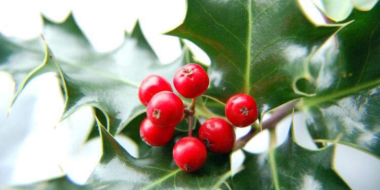 Beeren und Blätter des Ilex