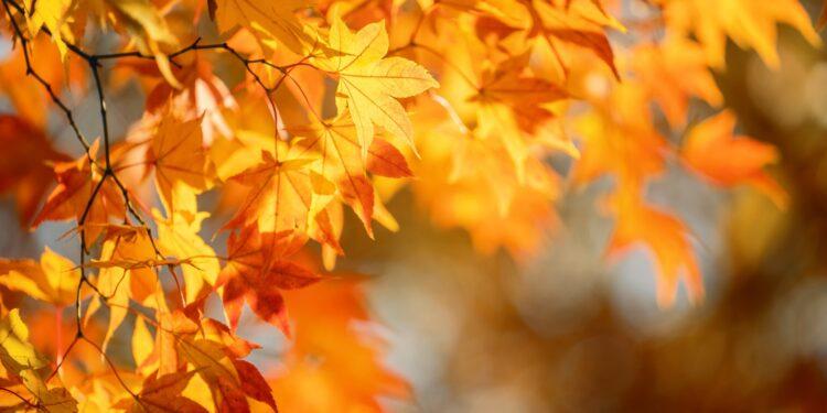 Die gelb gefärbten Blätter eines Ahorn-Baumes.
