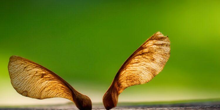 Die Flügelsamen eines Ahornbaumes.